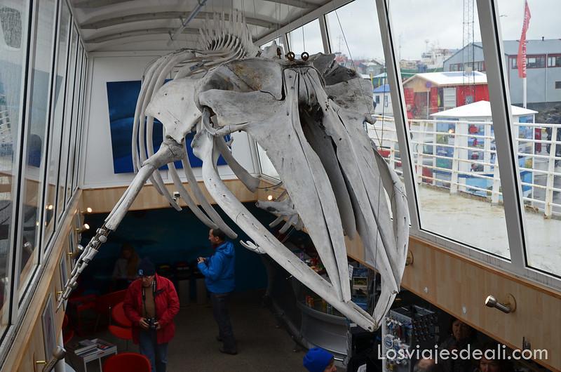 esqueleto de ballena dentro del barco en la excursión buscando ballenas en islandia