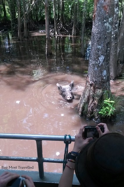Wild pig, swamp tour, New Orleans, USA