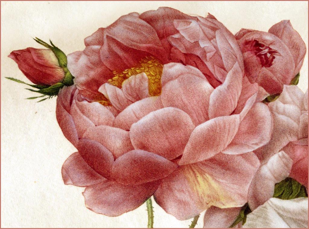 Pierre Joseph Redout 233 Quot Les Roses Rosa Damascena Quot 1817 24 Flickr
