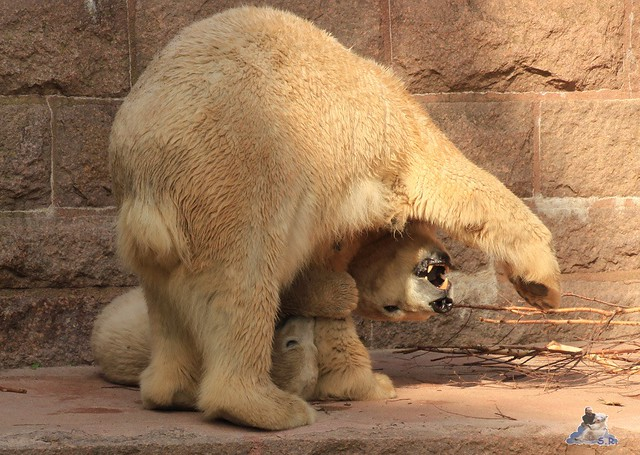 Eisbär Fiete Zoo Rostock 03.05.2015 Teil 3 186