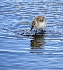 avocet chick 459 (86)