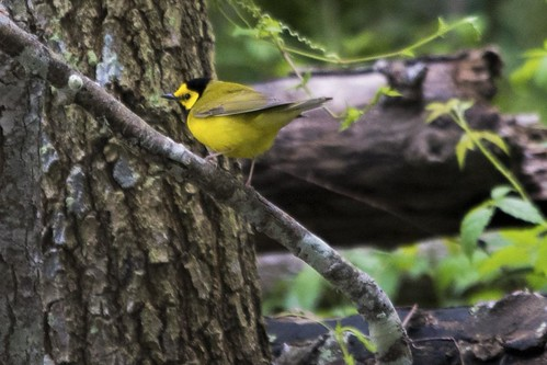 Peveto Woods, LA: Hooded Warbler
