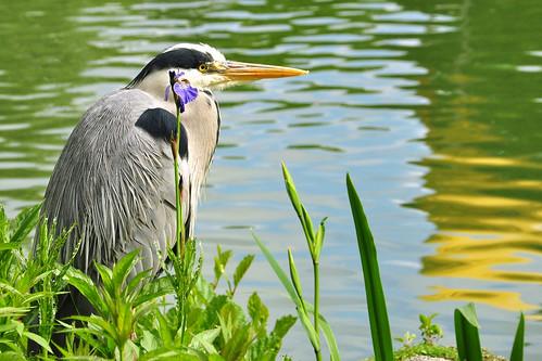 Luisenpark Mannheim im Mai 2016: Fischreiher und blaue Wasserlilie, fotografiert am Ufer des Kutzerweihers. (Der Kutznerweiher ist nach einem früheren Mannheimer Oberbürgermeister, Theodor Kutzer, benannt.) Foto Brigitte Stolle Mannheim