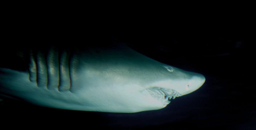 Shark_19