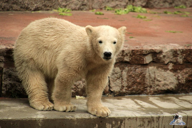 Eisbär Fiete im Zoo Rostock 24.05.2015 4