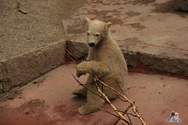 Eisbär Fiete im Zoo Rostock 24.05.2015 50