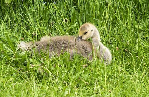 canada goose 462 (30)