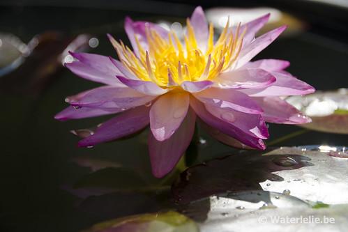 Waterlelie Siam Pink 2 / Nymphaea Siam Pink 2