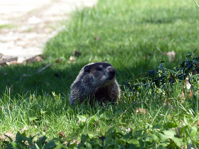 Heritage Hill Groundhog