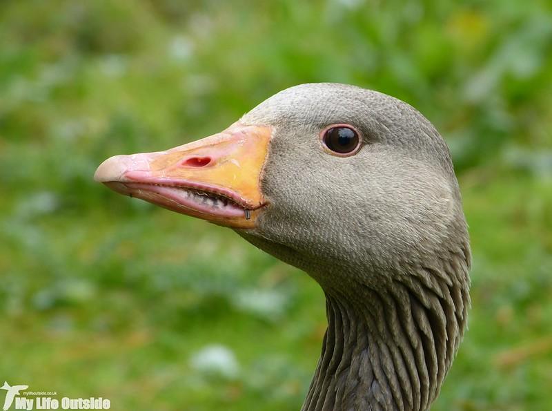 P1120744 - Greylag Goose