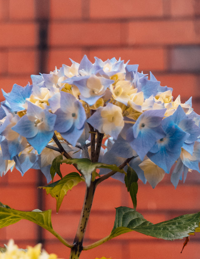 blue hydrangea in front of brick wall