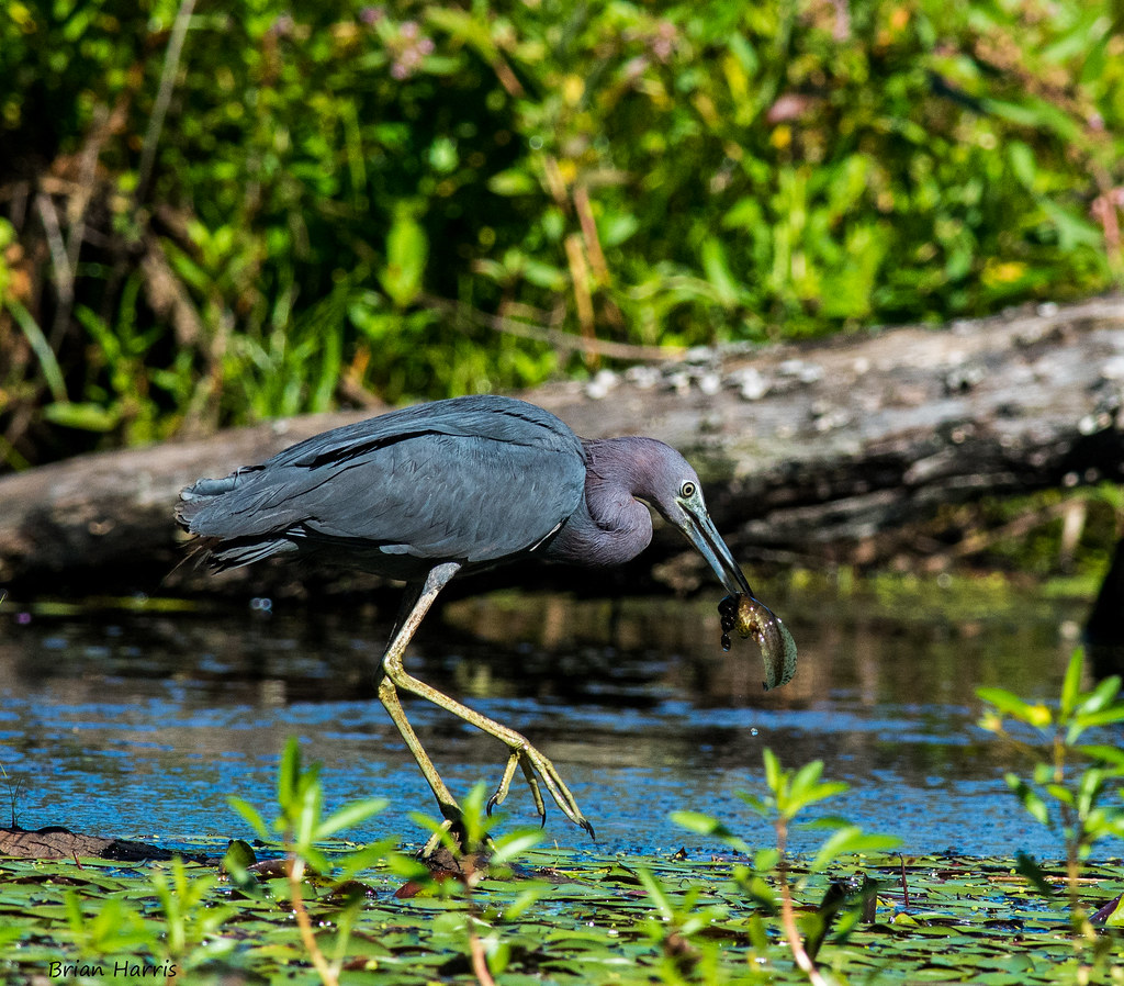 Little Blue Heron Baltimore County Maryland Eating A