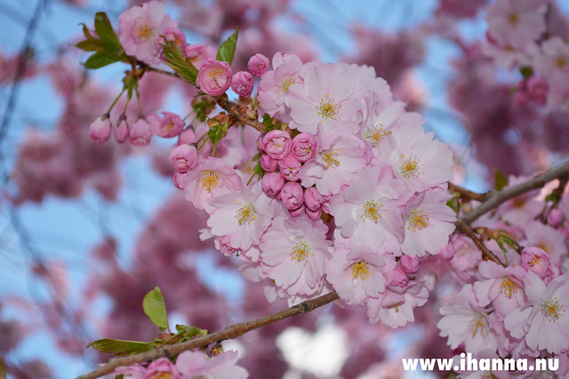 Cherry blossoms in Kungsan