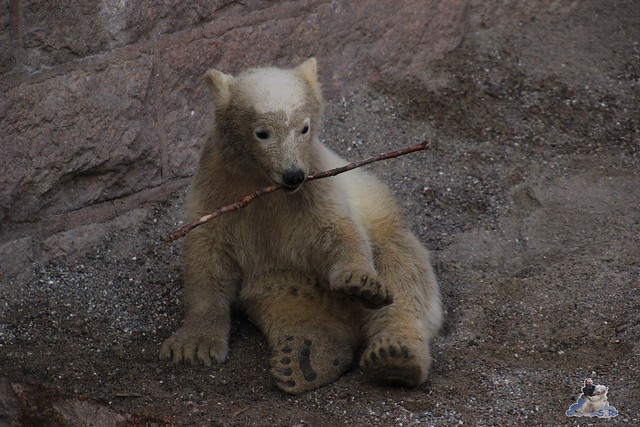 Eisbär Fiete im Zoo Rostock 23.05.2015 186