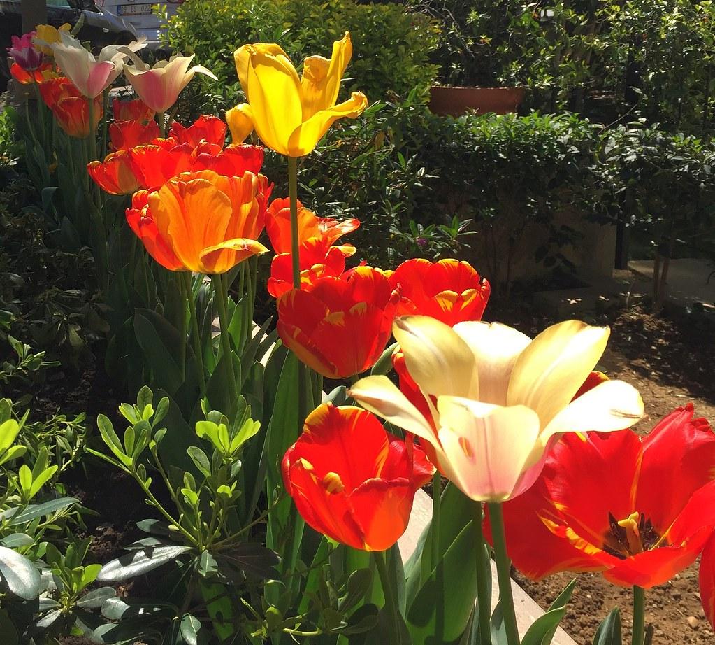 Turkey (Istanbul)- Tulips | Güldem Üstün | Flickr
