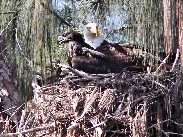 Bald Eagles male and eaglet 02-20160527