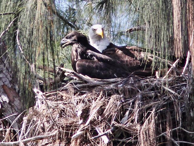 Bald Eagles male and eaglet 02-20160527