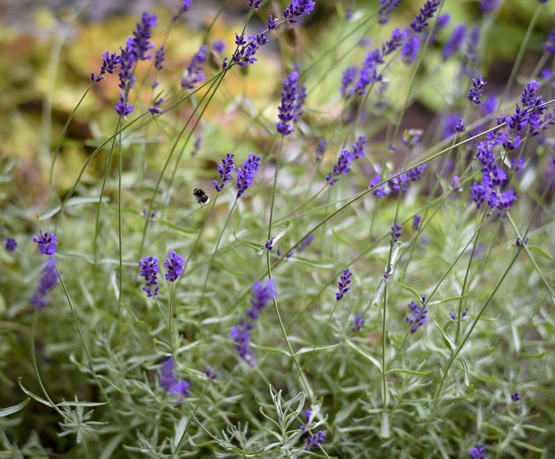 Lavendel i Höör