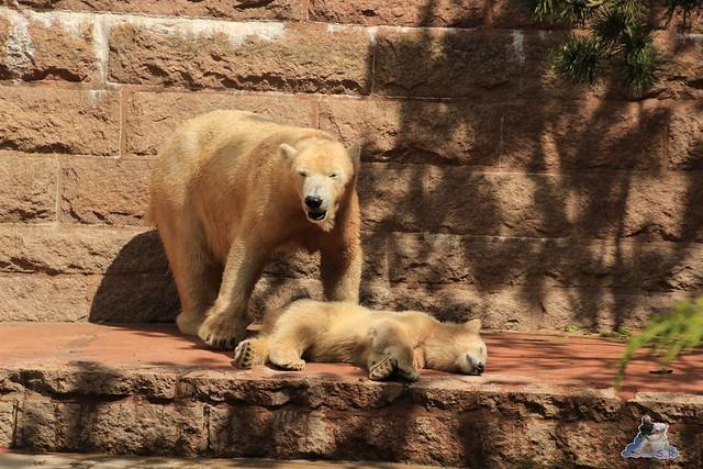 Eisbär Fiete im Zoo Rostock 24.05.2015 138