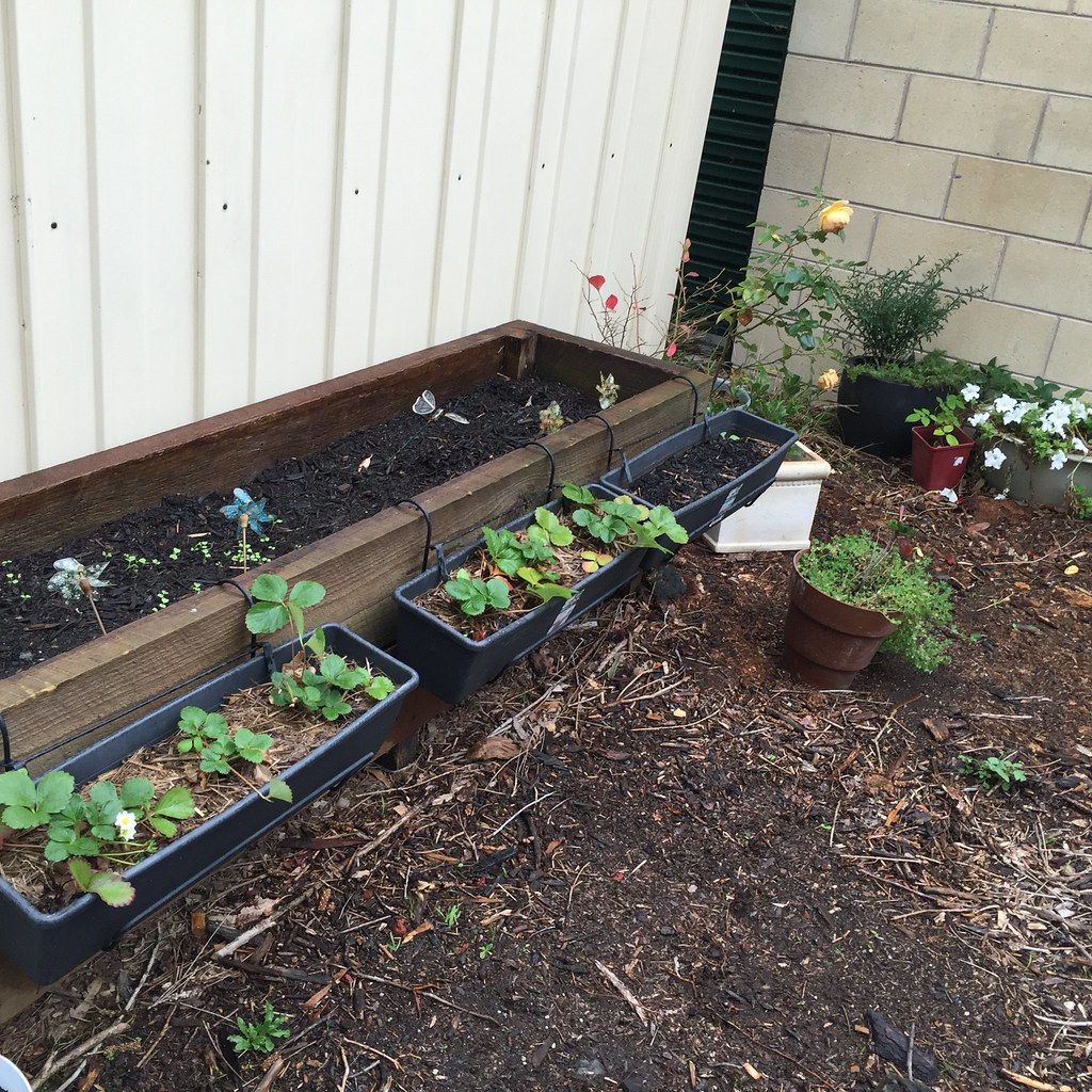 large planter box with teeny lettuce seedlings with several hanging boxes filled with strawberries on the front