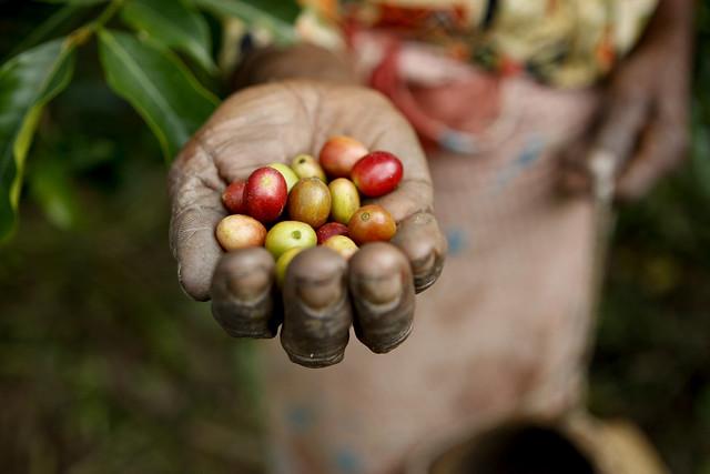 咖啡是現今世界三大飲料作物之一。依國際咖啡組織(International Coffee Organization)統計資料,2014年全世界喝了15億杯咖啡。(圖片來源:Conservation International。 )