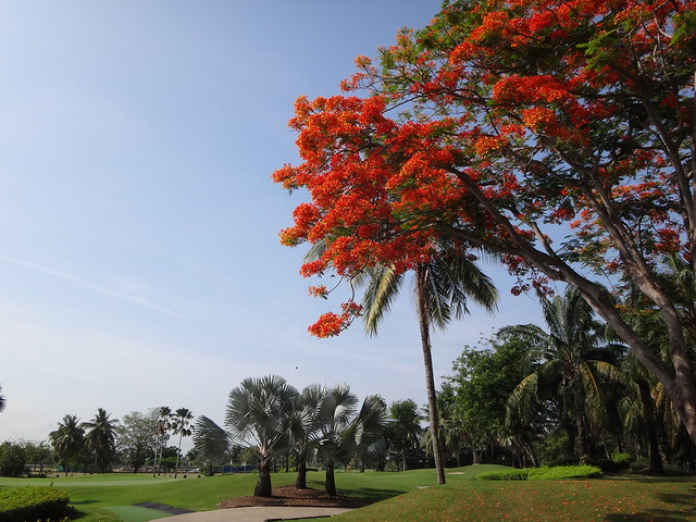 Another shot of Flame Tree at Royal Gems