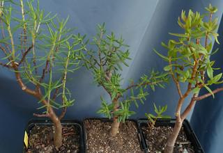 Crassula sarcocaulis ssp ? - id. à préciser 17874159766_781b75dd7e_n