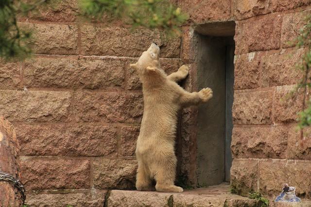 Eisbär Fiete im Zoo Rostock 24.05.2015 15