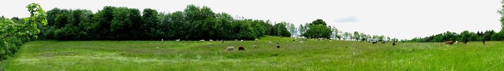 15-05-31 ein Feld voller Wolle