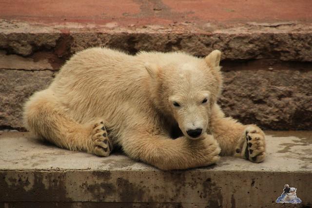 Eisbär Fiete im Zoo Rostock 24.05.2015 45