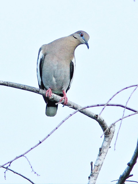 White-winged Dove 2-20150526