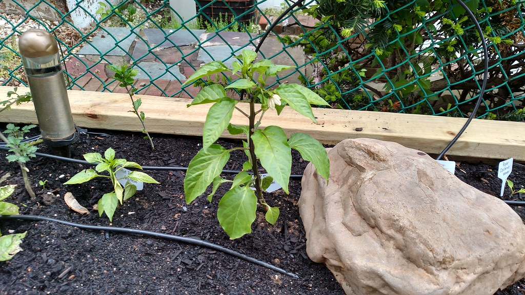 My experiences with commercial cedar raised beds 26763444371_029c20b130_b