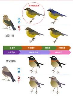 白眉林鴝羽衣延遲成熟。截圖自MAPS Taiwan海報