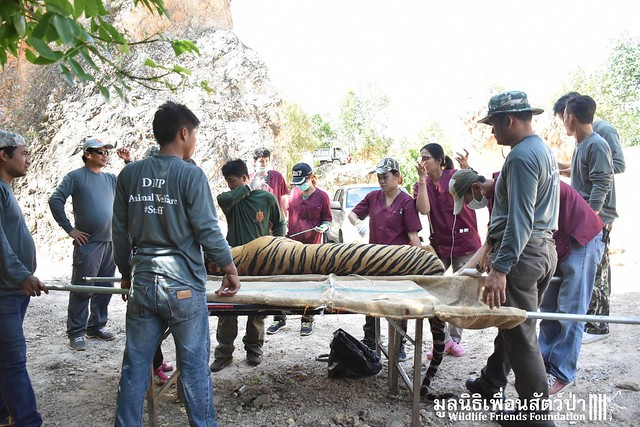Wildlife officials with a tranquilized tiger