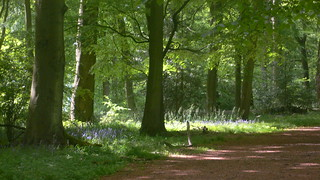 Bluebell wood near Lodge Hill