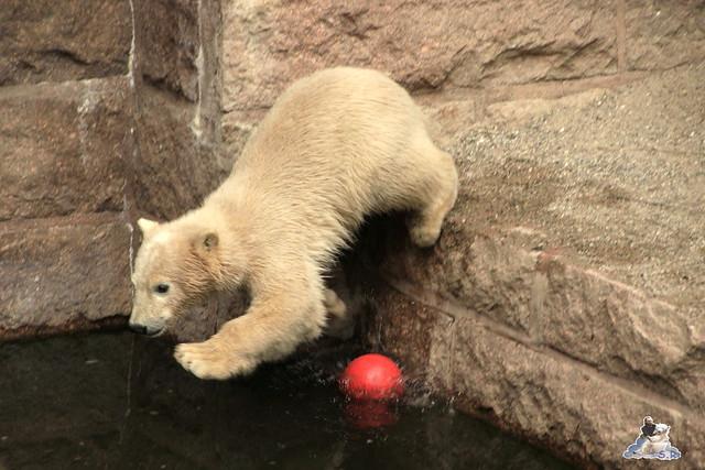 Eisbär Fiete im Zoo Rostock 24.05.2015 76