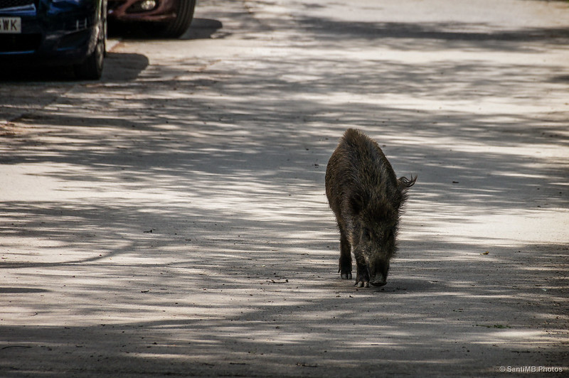 El jabalí, la nueva fauna urbana