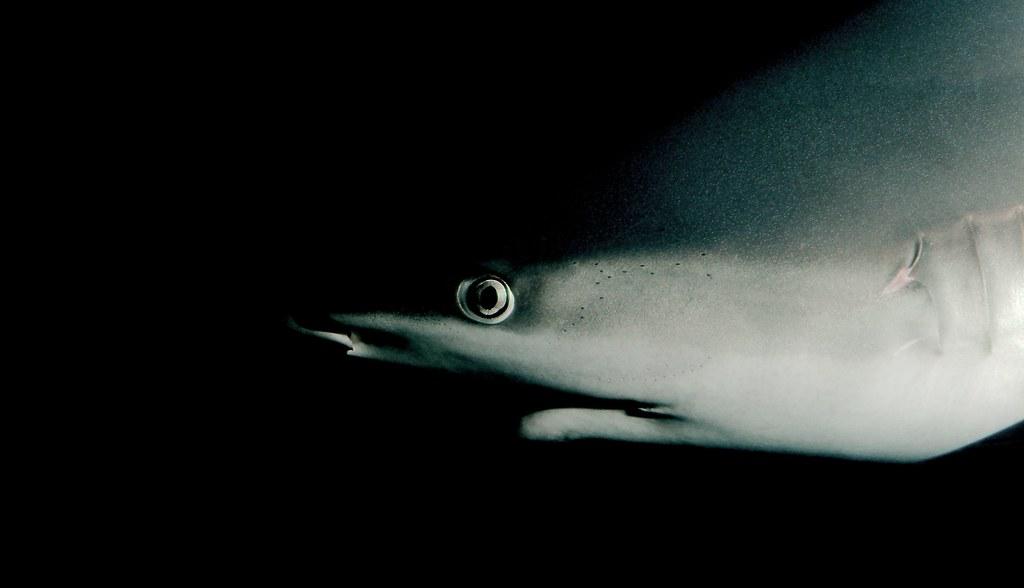 Shark_17