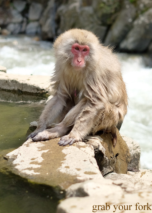 Snow monkeys in the outdoor onsen in Nagano, Japan