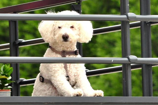"""Bretagne Urlaub 2016 Hund auf dem Balkon """"Bärchen"""" Foto: Brigitte Stolle"""
