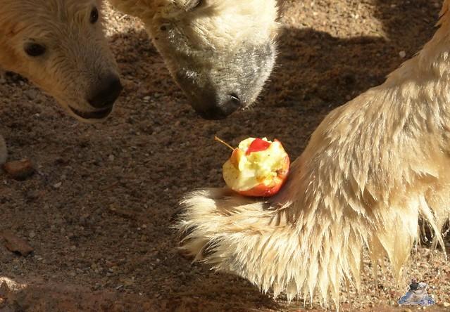 Eisbär Fiete Zoo Rostock 03.05.2015 Teil 1  46