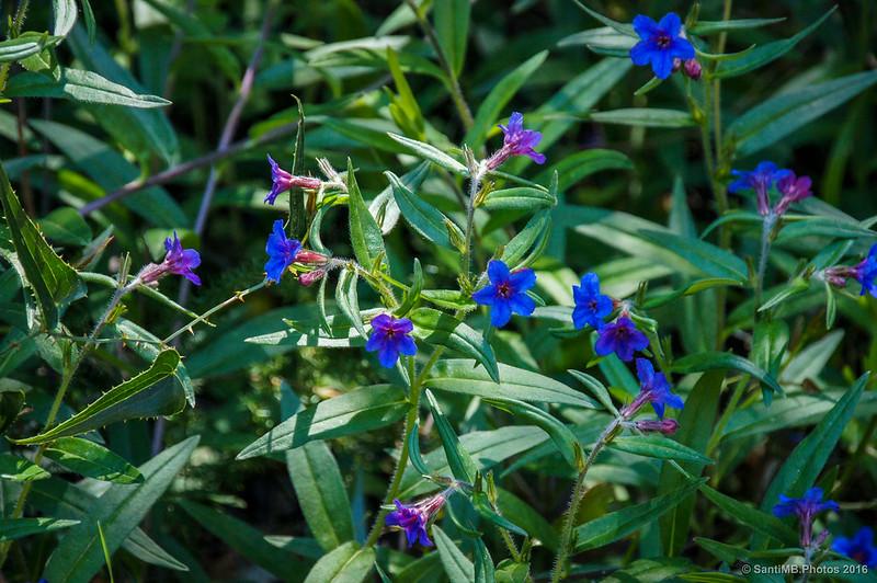 Unas flores azules