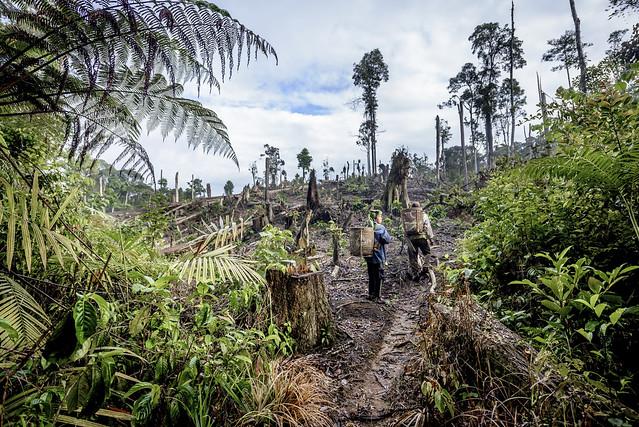 印度北蘇門答臘省的咖啡農正在採收咖啡,他們的咖啡園前身是一片原始森林。圖片來源:Conservation International。授權方式:media use。