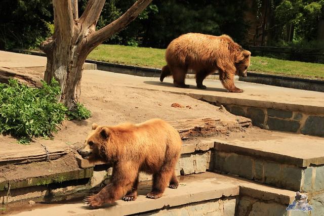 Eisbär Fiete im Zoo Rostock 24.05.2015 166