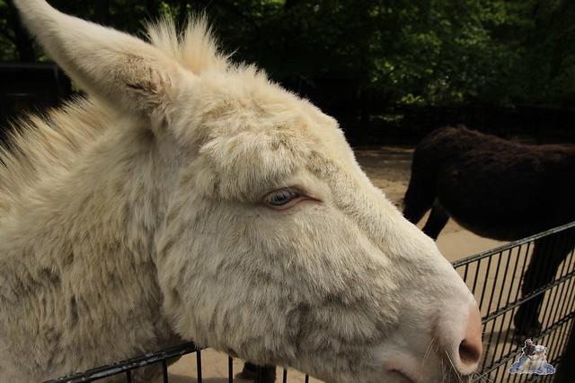Eisbär Fiete im Zoo Rostock 24.05.2015 172