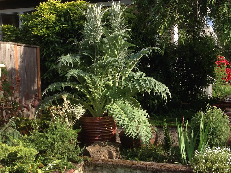 The cardoon!