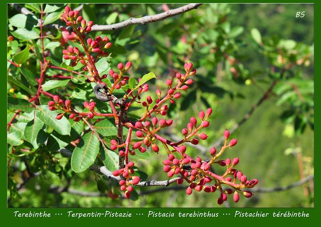 Mittelmeer-Pflanze Bibel-Pflanze ... Terebinthe Terpentin-Pistazie (Pistacia terebinthus) ... mit Gallen - Fotos und Collagen: Brigitte Stolle