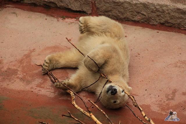 Eisbär Fiete im Zoo Rostock 24.05.2015 54