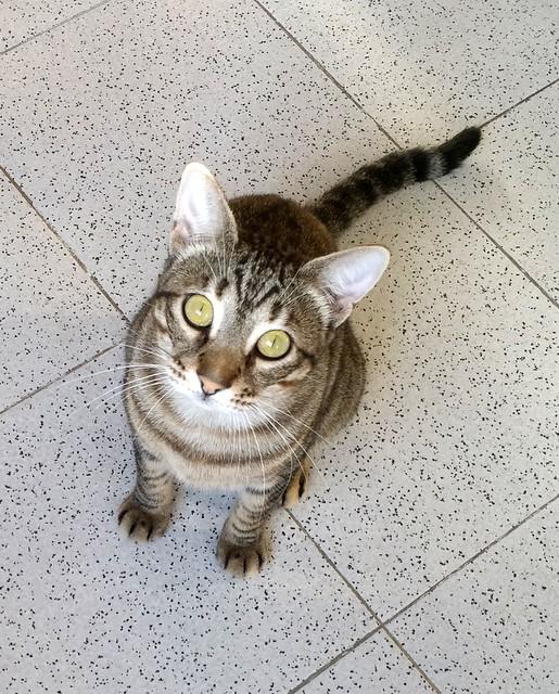Cotton y Cobby, gatos pardo y blanquipardo inseparables, nacidos en Febrero´15, necesitan adopción Conjunta. Valencia. 29488482521_2b631165bd_z