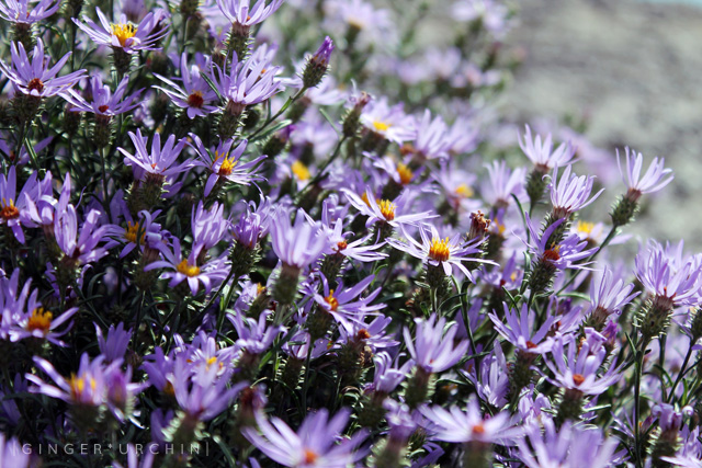 wild asters landscape